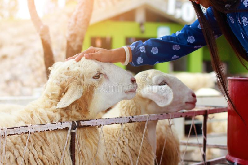 Pretty girl be kind to animals,girl have mercy to sheep. Woman in blue dress suit with happiness to feeding sheep chewing grass in farm stock images
