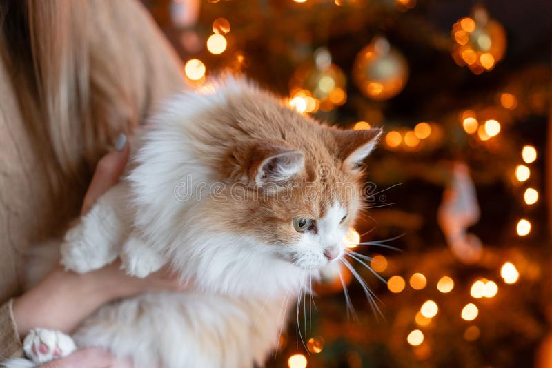 Pretty girl embraces fluffy red and white cat on Christmas tree background. Decorating Natural Danish spruce at home. Winter holidays in a house interior stock photography