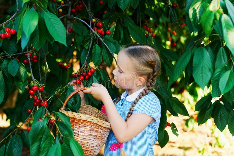 A pretty girl picking cherries royalty free stock photos