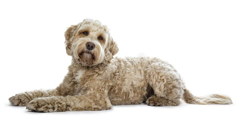 Pretty golden adult Labradoodle dog, isolated on white background. Pretty golden adult Labradoodle dog laying down side ways looking straight in lense with a royalty free stock photos