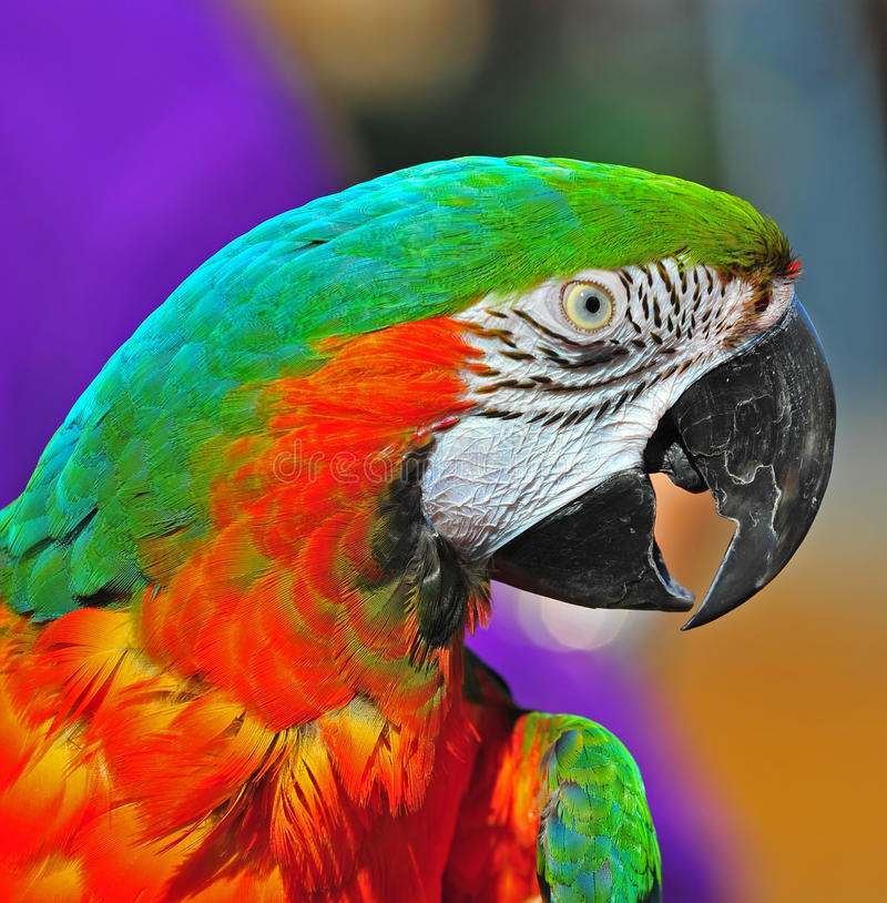 Pretty Green head Macaw stock images