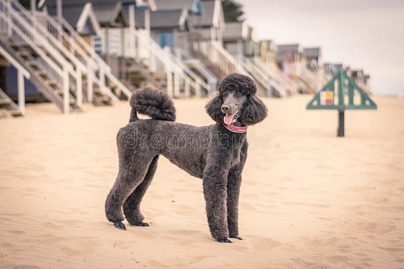 Pretty groomed grey standard poodle dog stock photo