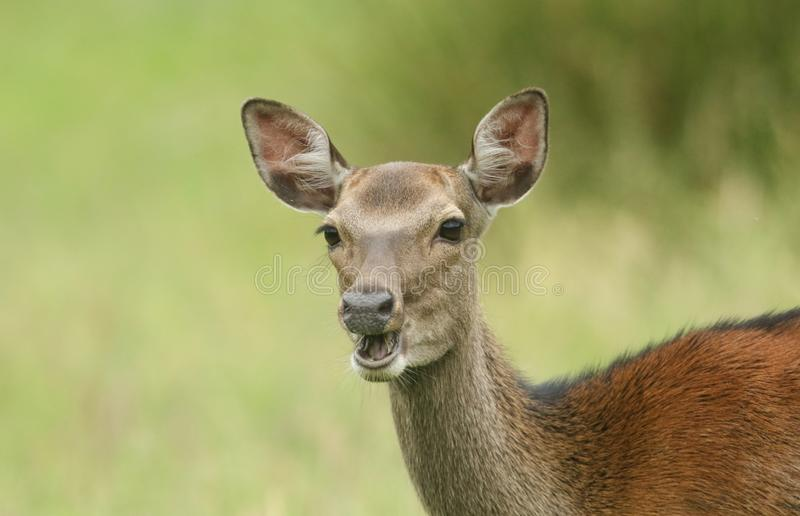 A beautiful head shot of a Sika Deer Cervus nippon feeding in a meadow at the edge of woodland. stock photo