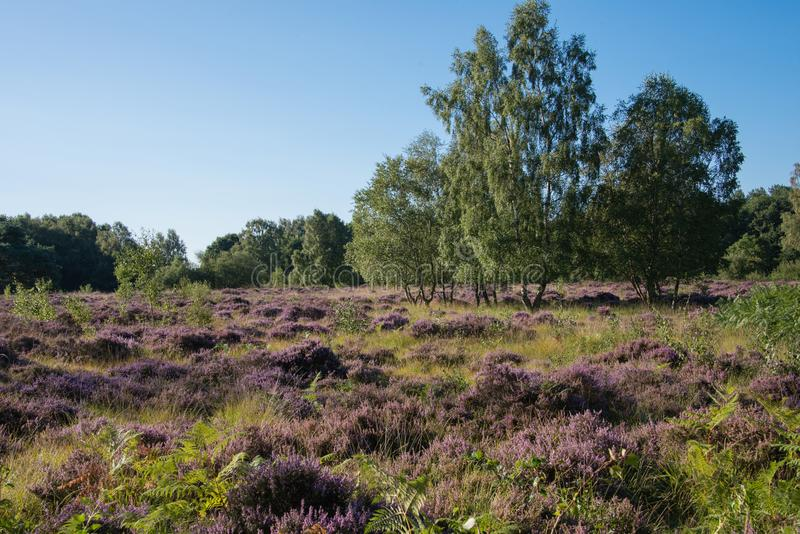 Pretty heathland scene of green trees against the purple heather stock images