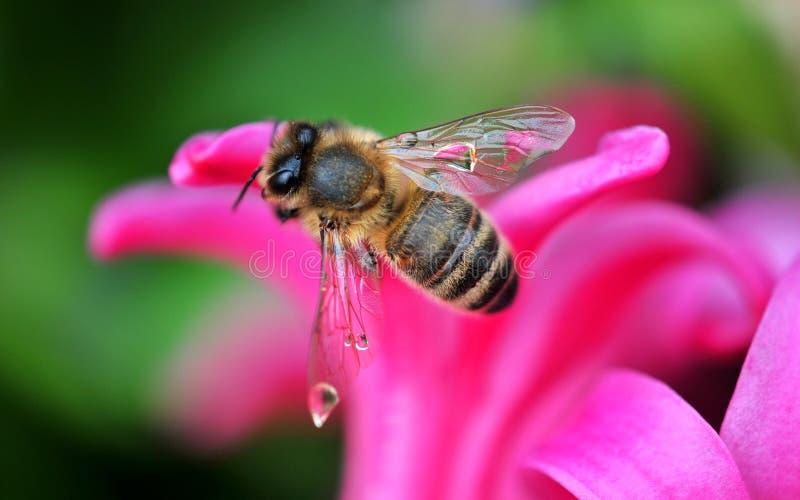 Pretty honey bee royalty free stock photo