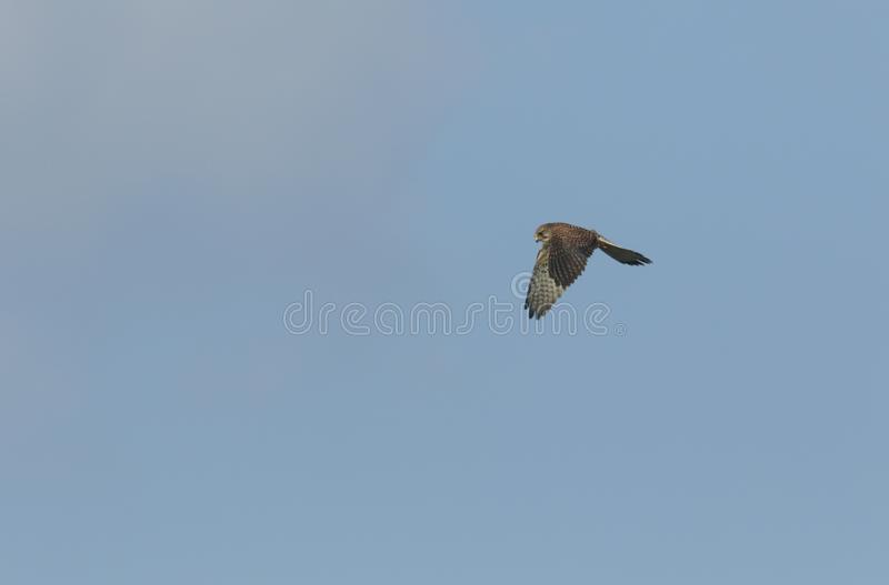 A hovering Kestrel, Falco tinnunculus, in flight hunting for food. stock photos