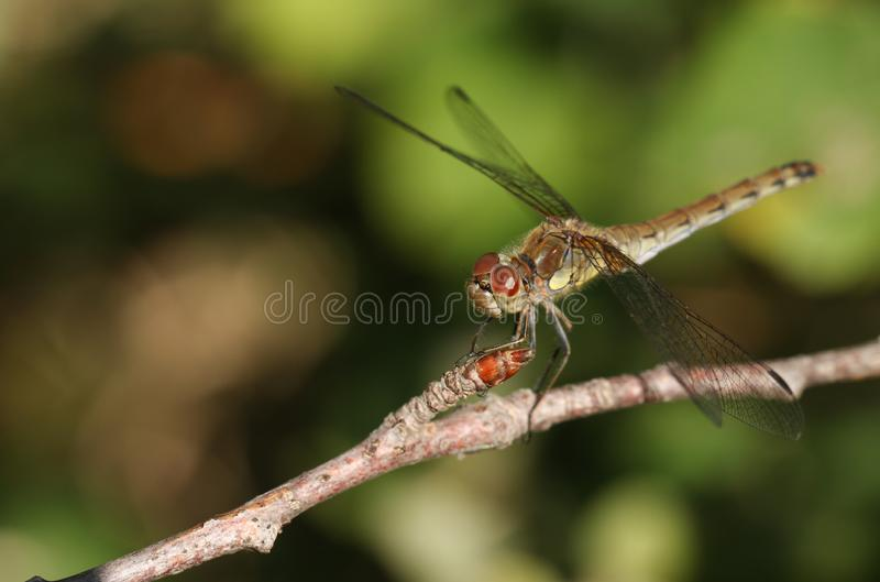 A hunting Common Darter Dragonfly Sympetrum striolatum perched on a twig at the edge of woodland. royalty free stock photo