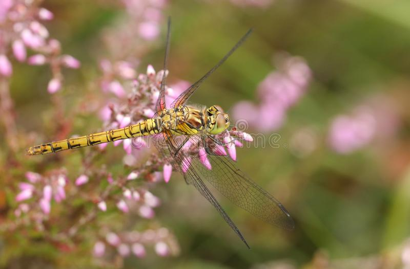 A hunting Common Darter, Sympetrum striolatum, perching on a flowering Heather plant. stock images