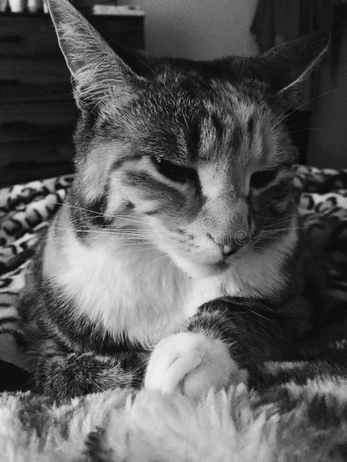 Black and White   Pretty Junior Tabby Girl Cat Relaxing stock image