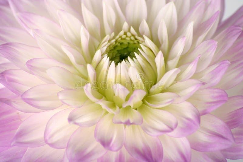 Pretty in lavender stock photo