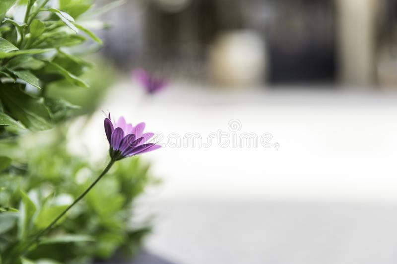 Pretty lilac flower sober light background in urban area royalty free stock photos
