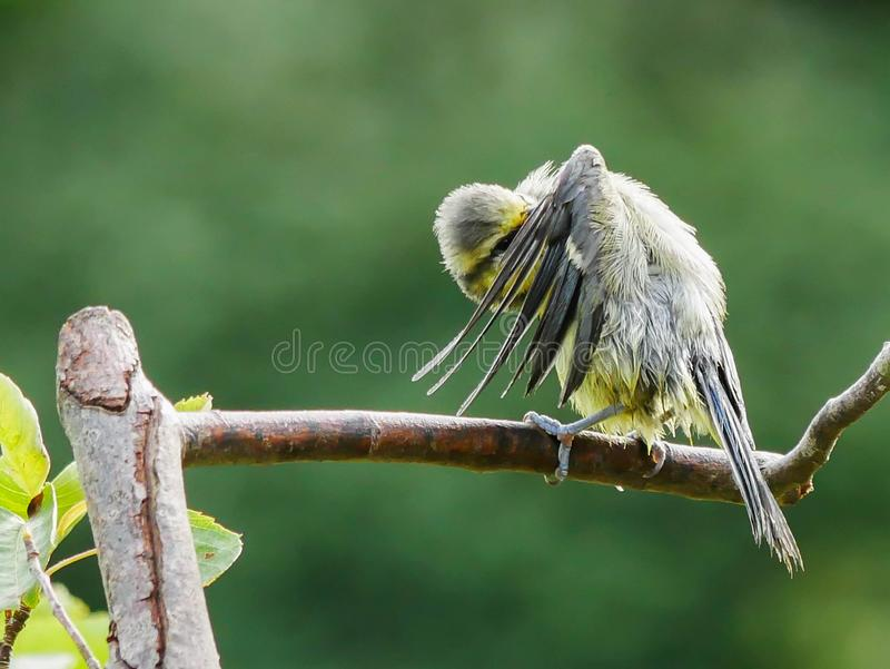 Blue tit on a twig stock image