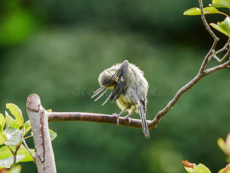 Blue tit on a twig stock photos