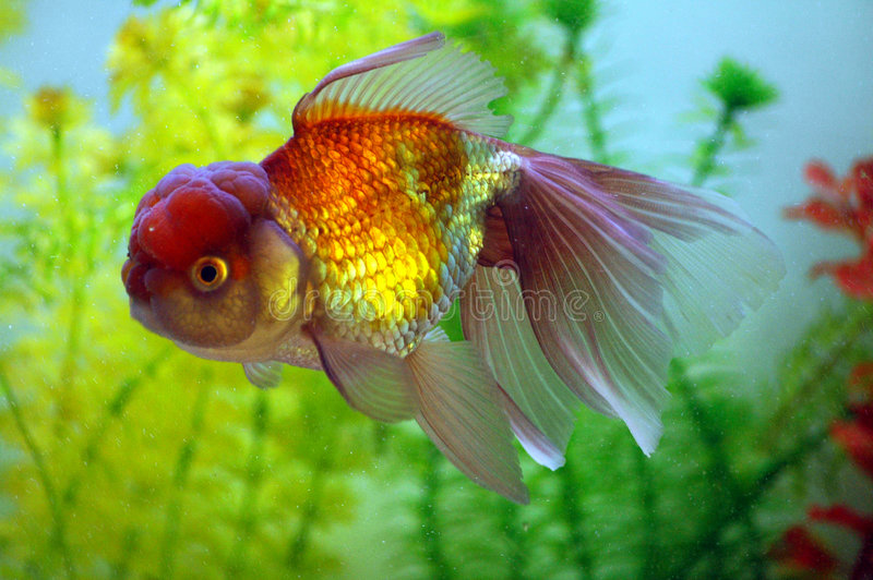 Pretty little gold fish royalty free stock photos