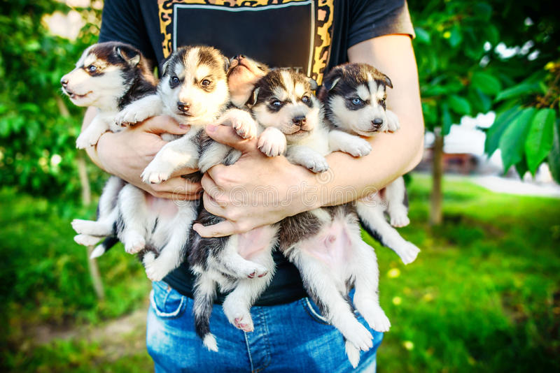 Pretty little husky puppy outdoor in hands. Little prety husky puppy outdoor in hands stock photos
