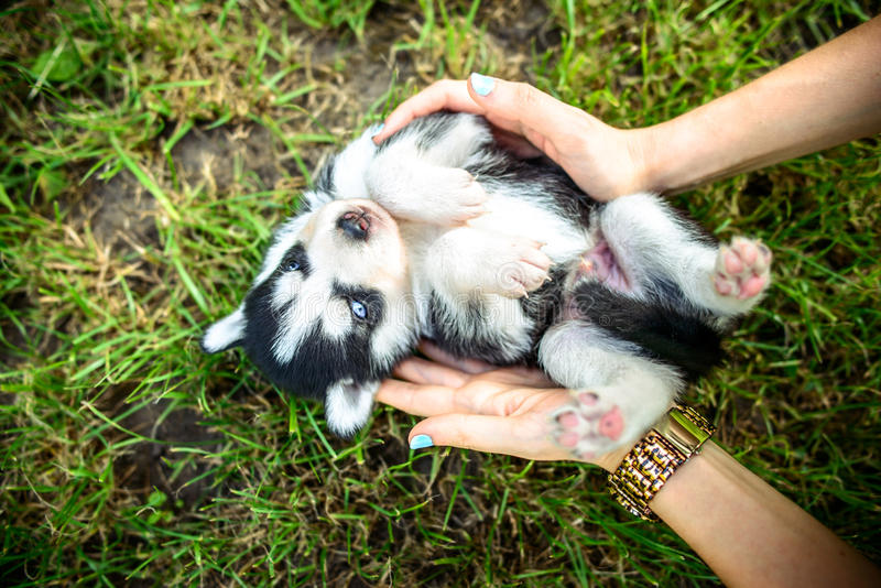 Pretty little husky puppy outdoor in womans hands. Little prety husky puppy outdoor in womans hands royalty free stock image