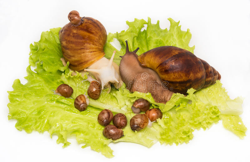Pretty little new-born snails with parents on lettuce. Kind of giant African snails is archachatina marginata suturalis dark body and albino body stock photography