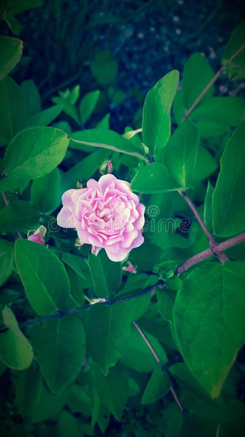 Pretty little pink rose stock photo