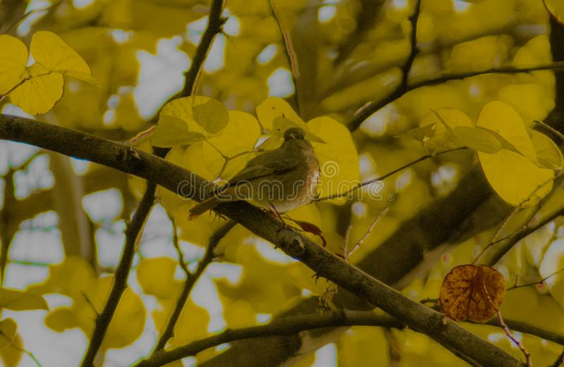 A pretty little redtail bird. A pretty little red tail bird singing in on a spring morning royalty free stock image