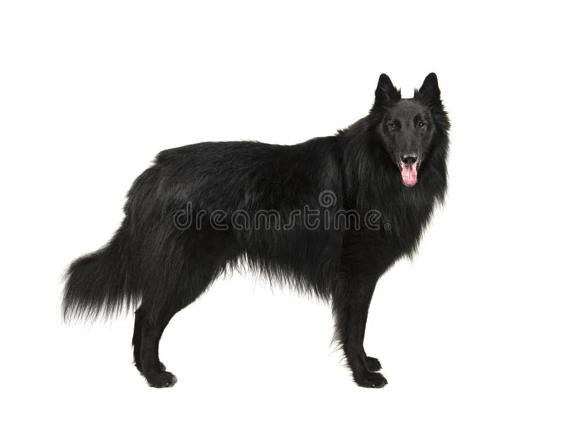 Pretty long haired black belgian shepherd dog called groenendaeler seen from the side standing, looking at the camaera isolated o stock image
