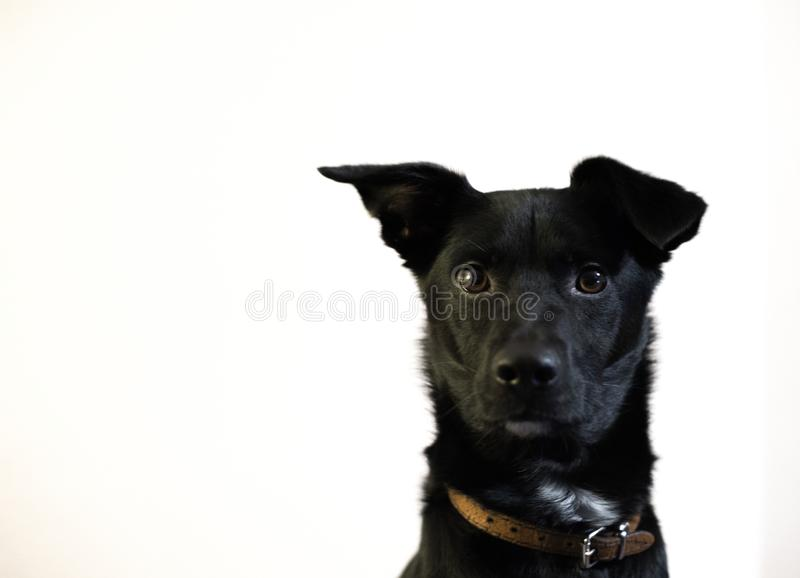 Pretty and lovely adopted dog as a model on white wall royalty free stock photo