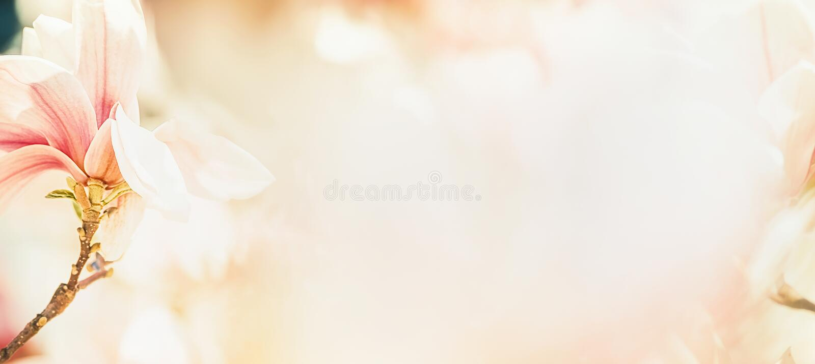 Pretty magnolia blossom in pastel color, floral banner, springtime outdoor nature in garden stock photography