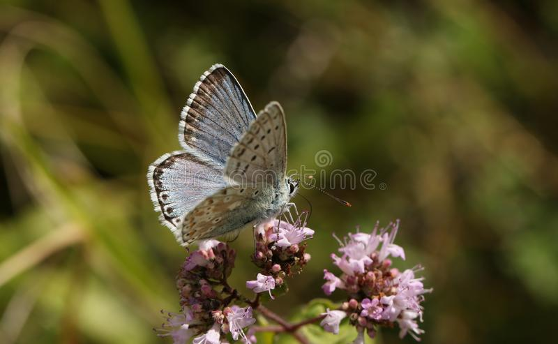 A stunning male Chalk Hill Blue Butterfly Polyommatus coridon nectaring on a Marjoram flower. stock photos