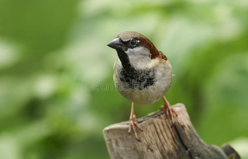 A stunning male House Sparrow Passer domesticus perched on a tree stump. royalty free stock photos