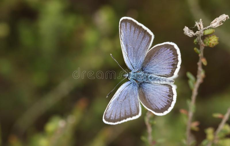 A stunning male Silver-studded Blue Butterfly Plebejus argus perching on heather with its wings open. royalty free stock photography
