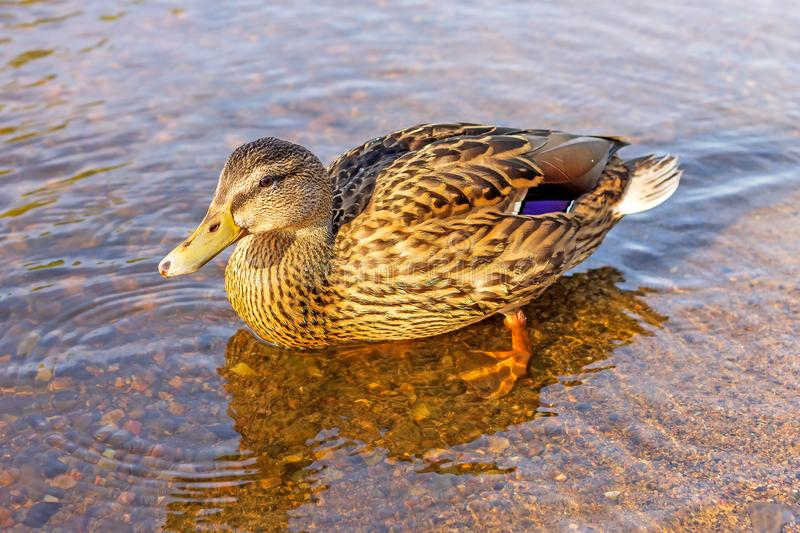 Waterfowl wild mallard stands on the shore of a reservoir in clear water stock images