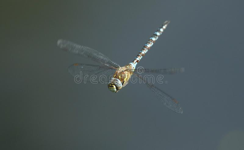 A stunning Migrant Hawker Dragonfly Aeshna mixta flying over a lake in the UK. A pretty Migrant Hawker Dragonfly Aeshna mixta flying over a lake in the UK royalty free stock photo