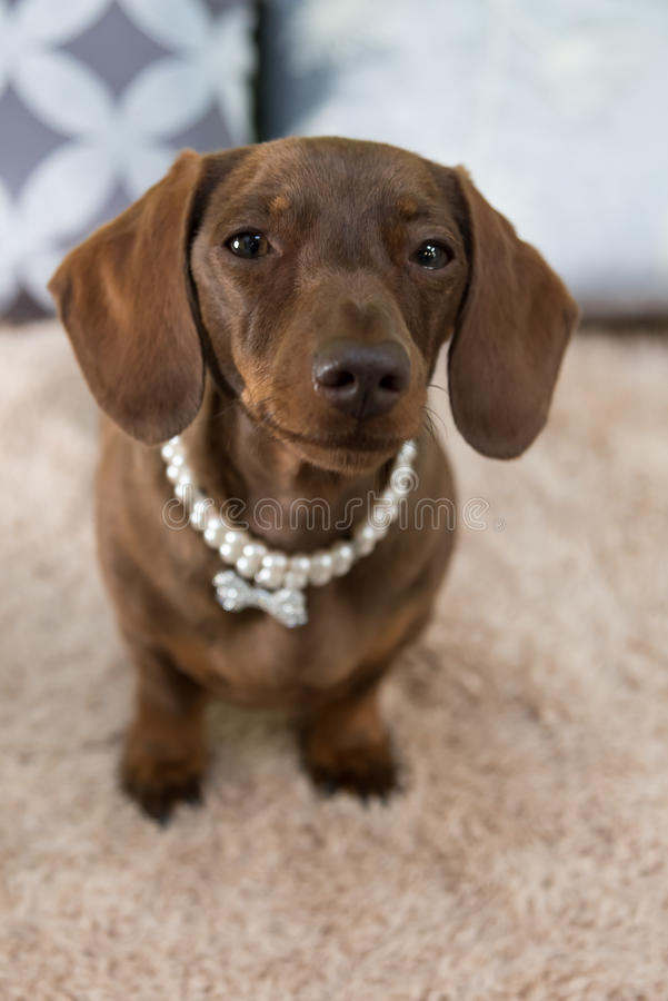 Pretty miniature dachshund with pearl necklace royalty free stock photography