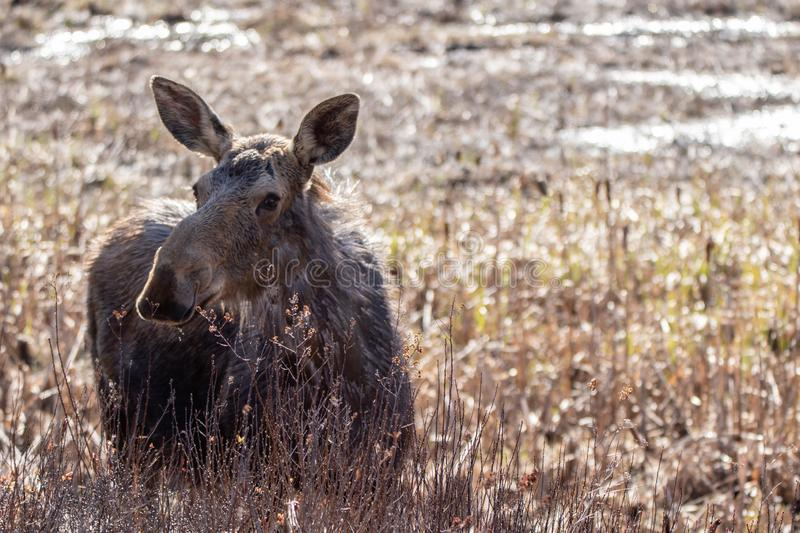 Pretty moose cow in a sunlit meadow in spring. A beautiful curious female moose in a golden sunlit meadow in spring in Algonquin Park Ontario royalty free stock photo