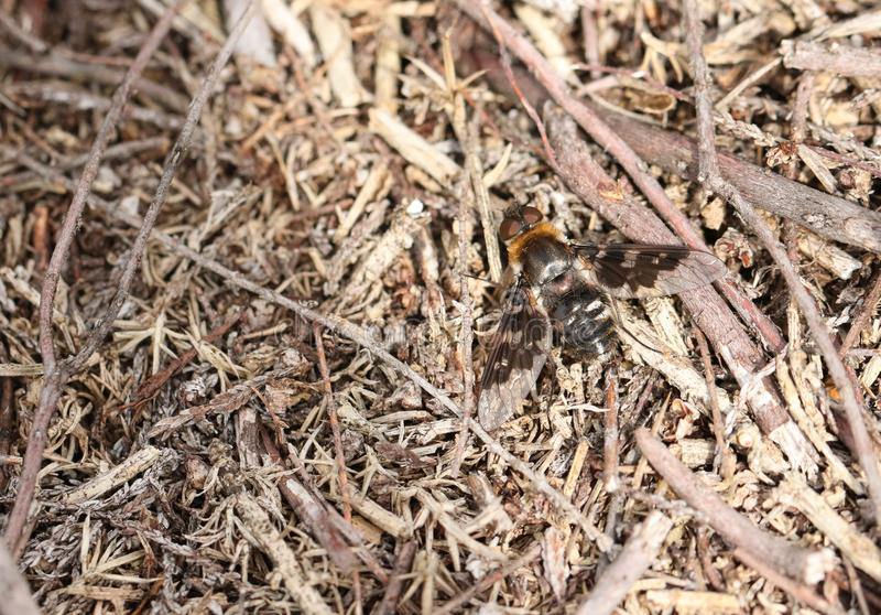 A pretty Mottled Bee-Fly, Thyridanthrax fenestratus, perching on the ground in heath land. stock image