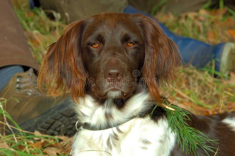 Pretty Muensterlaender dog stock photography