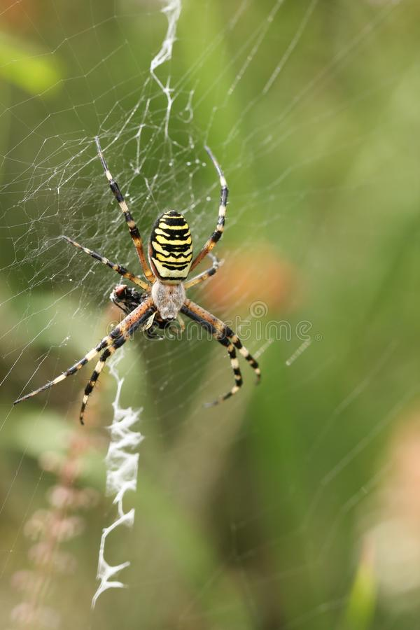 A non-native Wasp Spider, Argiope bruennichi, eating a fly that has got caught in its web in the wild in the UK. A pretty non-native Wasp Spider, Argiope royalty free stock photography