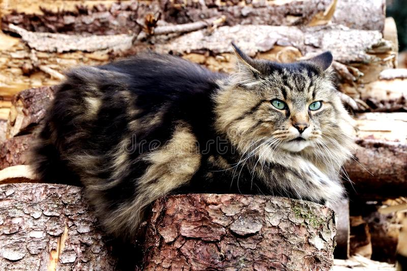 A pretty Norwegian Forest Cat sits on a pile of wood with an evil eye stock image