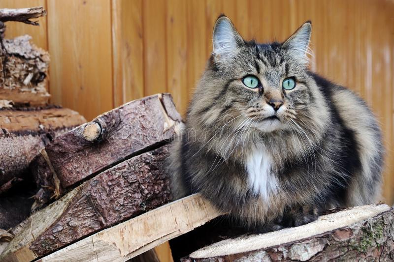A pretty Norwegian Forest Cat with turquoise eyes on a stack of wood royalty free stock photo