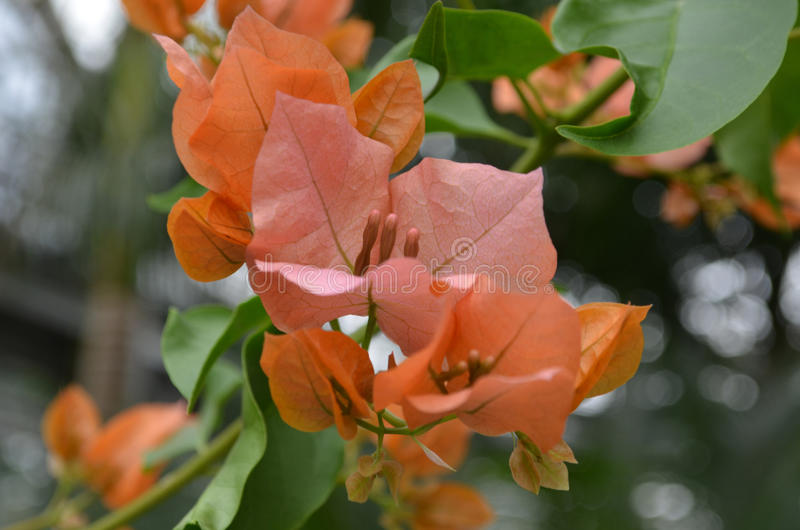Really pretty orange flowering lagerstroemia flower blossom stock download really pretty orange flowering lagerstroemia flower blossom stock photo image of crape herb mightylinksfo