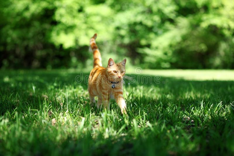 Orange tabby cat walking through grass outside. Pretty orange tabby cat walking through grass outside royalty free stock photo