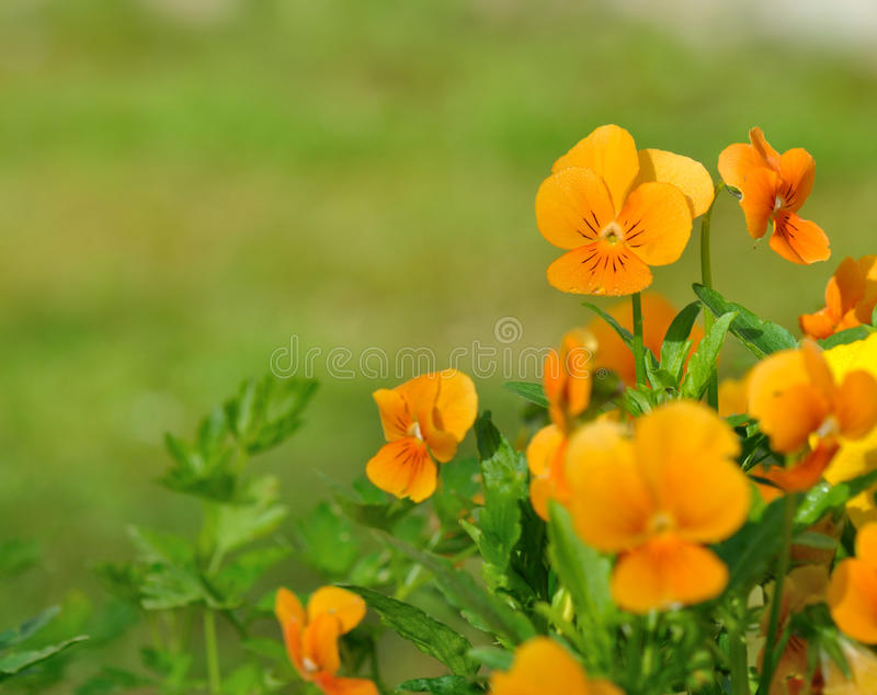 Pretty orange viola stock image
