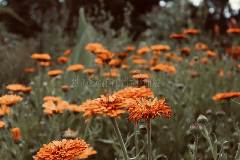 PRetty orange yellow flowers in a flowerfield wild growing blooming flowers stock image