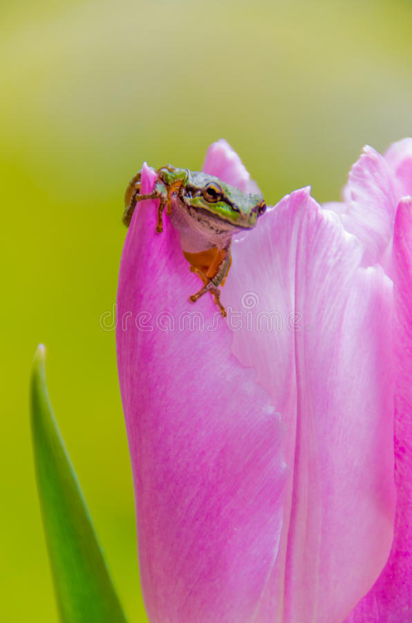 Pretty Pacific Green tree frog on pink tulip stock images