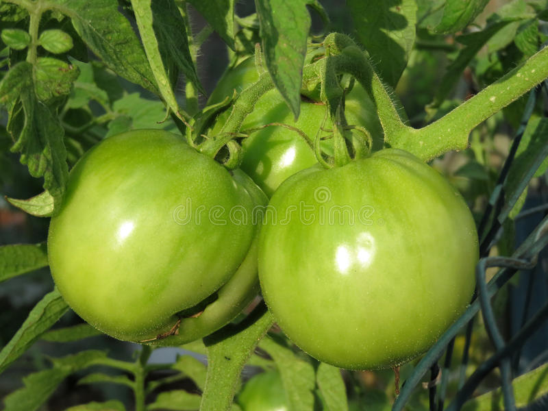 Pretty Pair of Green Tomatoes stock photo