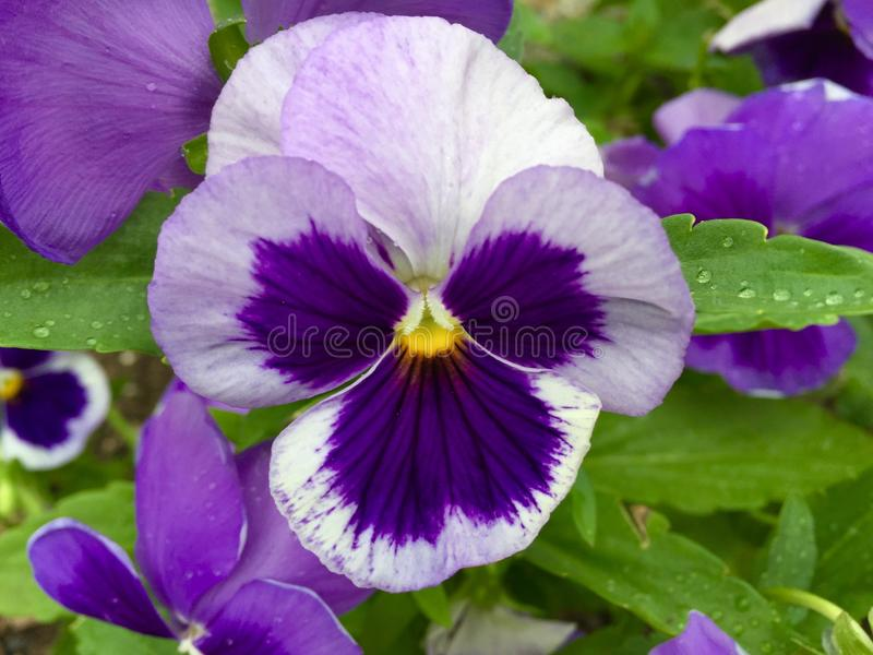 Pretty pansy in the garden royalty free stock image
