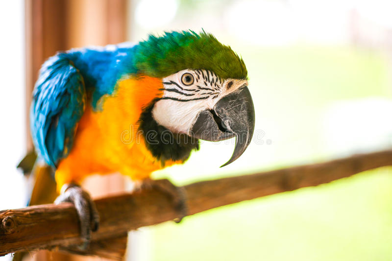 A Pretty Parrot Perching stock image