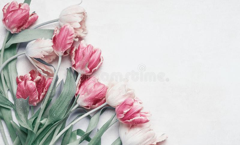Pretty pastel tulips flowers with water drops on white background, top view, flat lay with copy space for your design. Layout for royalty free stock photo