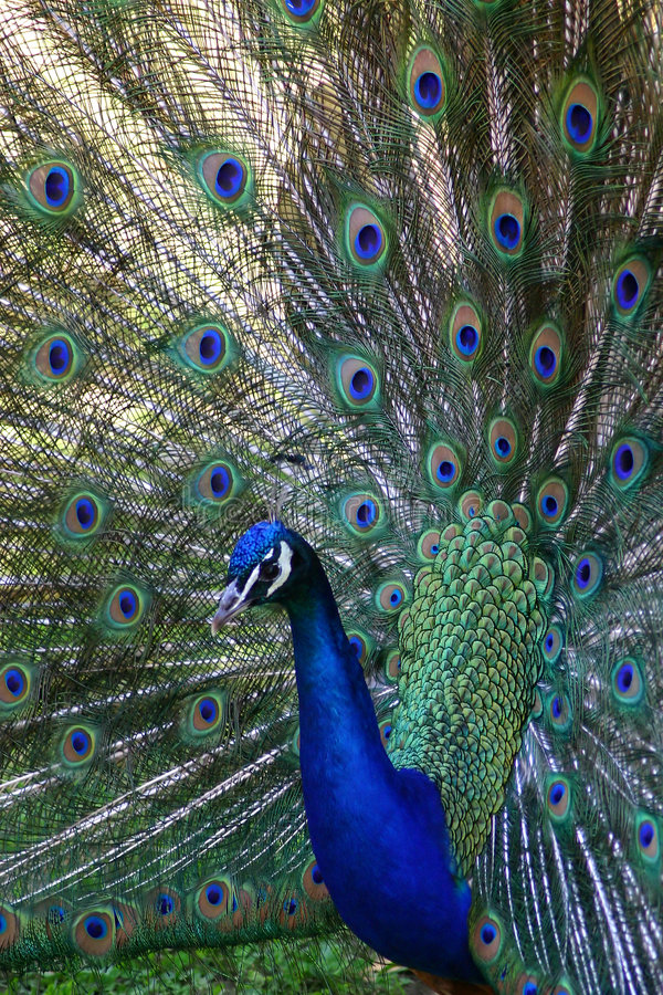 Download Pretty Peacock stock image. Image of bird, peacock, blue - 13923