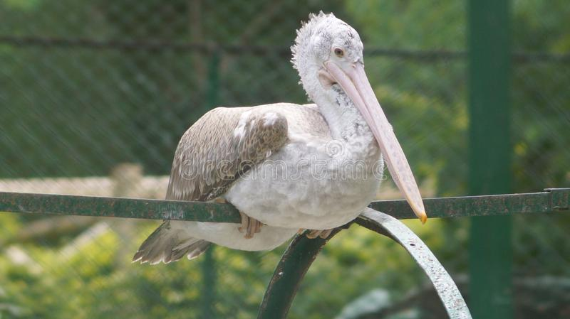 Pretty pelican in its natural setting. Beautiful pelican relaxing after a hearty meal in its natural surrounding stock photography