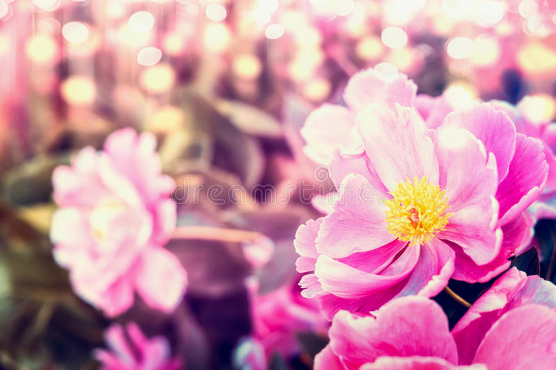 Pretty peonies flowers at sunny bokeh nature stock photography